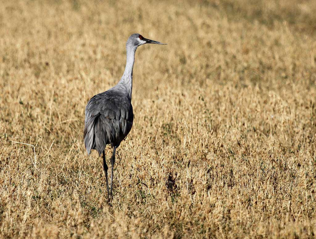 Sandhill crane at the Valle de Oro National Wildlife Refuge BOTHERING BIRDS VIA COMPFIGHT CC