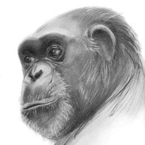 An illustration of Rosie, a chimp born in the lab CREDIT JESSI PRINCIOTTO / ANIMAL PROTECTION OF NEW MEXICO