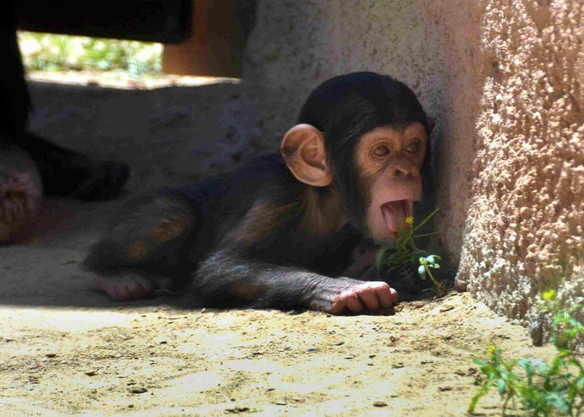 This new baby is the child of one of the breeding chimps brought to the zoo from the Alamogordo Primate Facility. COURTESY OF THE RIO GRANDE ZOO