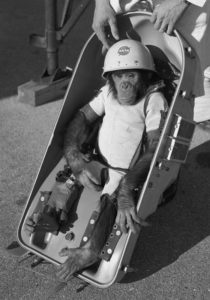 In 1961, HAM the astrochimp was the first hominid sent to space. His name is an acronym that stands for Holloman Aerospace Medical, a center in New Mexico. CREDIT WIKIMEDIA VIA CC